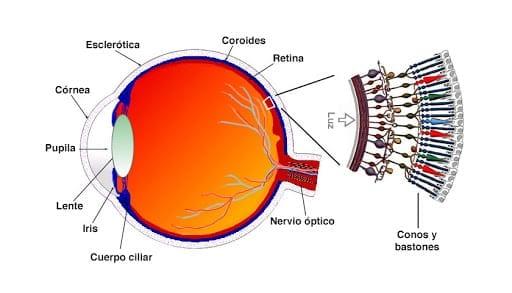 ojo-humano-conos-bastones