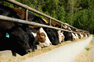 applicazioni di acido formico. bestiame