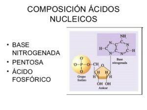 Composizione dei nucleotidi e loro funzioni