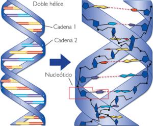Struttura degli acidi nucleici.