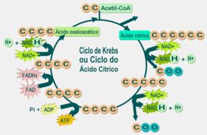 Cos'è l'acido malico