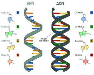 Tipi di acidi nucleici e loro funzioni